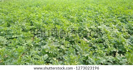 this is the picture of potato planting