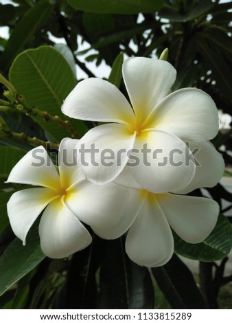 Free photos white flowers with yellow in middle avopix this is the plumerias flower has white color and yellow color in the middle mightylinksfo