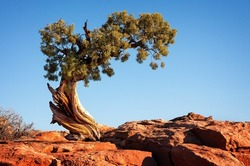 This juniper tree, looking like a bonsai, tells the story of survival in the arid desert environment. /Lone Tree