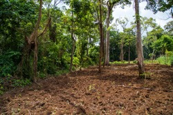 This land owner has recently cleared a section of natural forest away that was on his land, allowing him to now plant a new commercial crop such as tobacco.