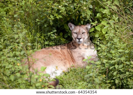 This large, solitary cat has the greatest range of any large wild terrestrial mammal in the Western Hemisphere, extending from Yukon in Canada to the southern Andes of South America.