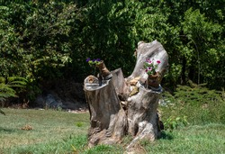 This large tree stump is the focal point of this Missouri front yard and is used for rustic style flower displays. Lots of greenery surround it.