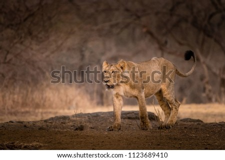 This Lion picture is taken at Sasan Gir in India.