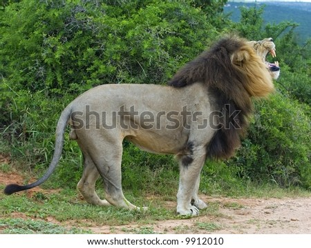 This lion was following lionesses and smelling the air