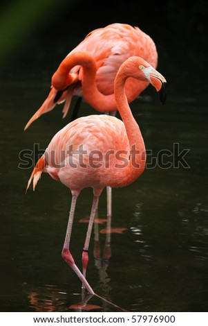 This long legged flamingo is searching for food in the water