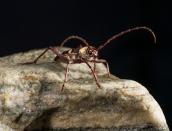 This macro alert long horned beetle insect on rock.