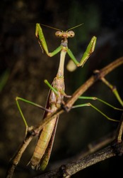 This macro image features a the front view portrait of a male Carolina mantis (Stagmomantis carolina) praying mantis insect ready to attack!