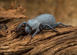 This macro image shows a detailed view of a Asbolus verrucosus (desert ironclad beetles or blue death feigning beetles) beetle on desert driftwood.