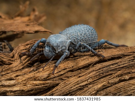 This macro image shows a detailed view of a Asbolus verrucosus (desert ironclad beetles or blue death feigning beetles) beetle on desert driftwood. Foto stock ©