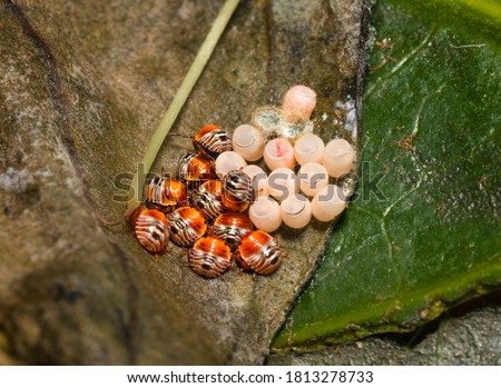 Photo of  This macro image shows a group of small nymph baby shield bugs on a leaf next to their empty egg shells from which they hatched.