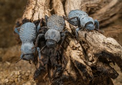 This macro image shows a group of three Asbolus verrucosus (desert ironclad beetles or blue death feigning beetles) beetles on desert driftwood.