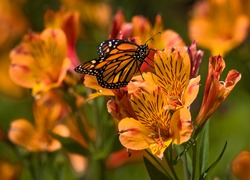 This macro photo features a beautiful male monarch (Danaus pleippus) butterfly amongst blooming summer flowers.