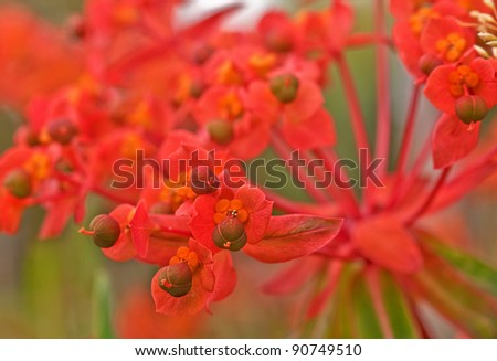 This macro photo is a Euphorbia plant in the variety of Fireglow, a very unique and interesting garden plant that is brilliant with color.  Background intentionally blurred for artistic effect.
