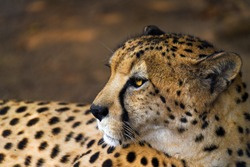 This macro portrait image shows the side view of a majestic wild African cheetah looking over it's shoulder.