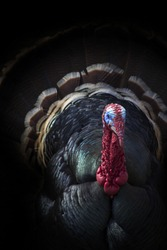 This Male Tom Turkey Peers From The Shadows In This Dark But Very Colorful Portrait.