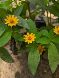 This Melampodium flower is still in the same family as sunflowers. Also known as Butter Daisy.