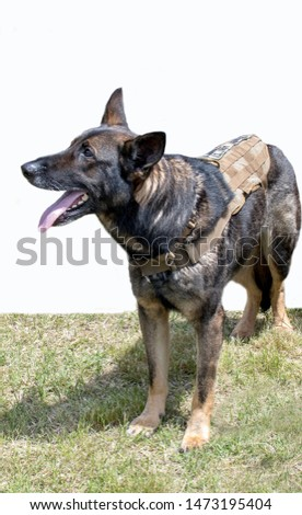 This Military canine is a valued member of his unit. posed at an event in Michigan USA, German shepherd were the best dogs trained, and were known for their strength, intelligence and loyalty #1473195404