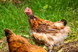 This molting chicken looks half dressed! Suggestive of the effects of stress or long term narcissistic abuse.