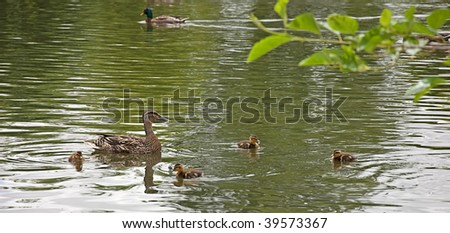 This mother duck is swimming with her baby ducklings and one has a water droplet coming down from it's beak.