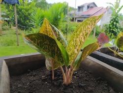 This ornamental taro plant we often encounter in the tropics