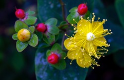 This overhead shot of Saint John's Wort shows golden and red berries and vivid yellow blossoms with prominent sepals. Saint John's Wort, or hypericum, is sometimes used in healing teas and homeopathy.