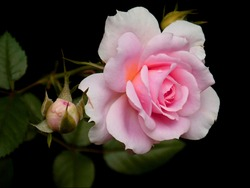 This photo inside pink rose flower.