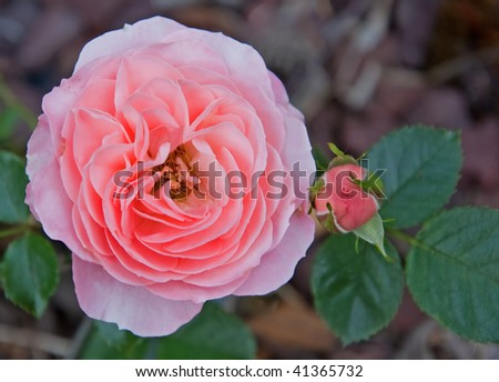 This photo is a closeup of an old fashioned double pink rose with hints of peach and is double ruffled.