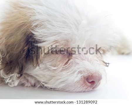 This photo shows a tired or sleepy dog on a white background. Focus on face.