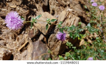 This Photo Shows Purple Flowers Called Coyote Mint Growing Out Of A Blurred Background Of Rocks