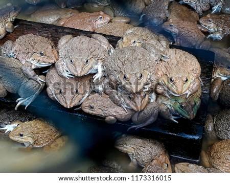 this pic show a bigger frog at farm, aquaculture concept.