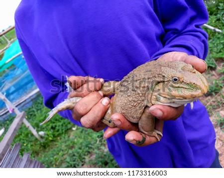 this pic show a bigger frog on hand farmer at farm, aquaculture concept.