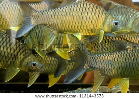 this pic show a lot of fish in aquarium it is a silver barb fish native in Thailand
