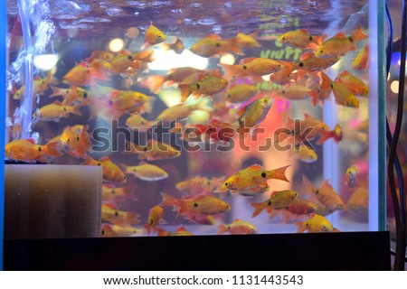 this pic show a lot of ornamental fish swimming in aquarium fish at pet shop, ornamental fish concept.