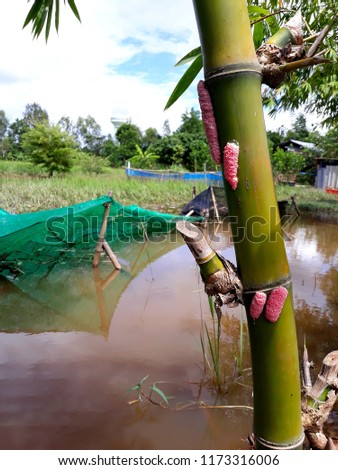 this pic show eegs of the Golden Apple Snail on rice field farm, alien species concept.