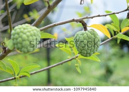 this pic show fresh Custard apple fruit on tree at garden, fresh fruit concept
