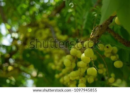 this pic show fresh star gooseberry fruit on tree at garden, fresh fruit concept