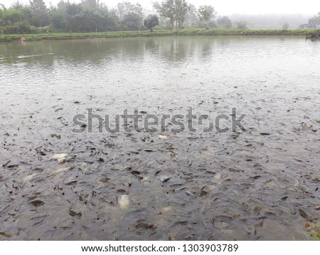 this pic show many tilapia fish swiming in the pond for wait feeding at morning time, aquaculture concept