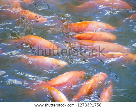 this pic show red tilapia fish fingerling size swiming in underwater at pond, Aquaculture background concept