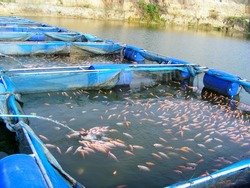 this pic show the Aquaculture farm on river, there are rearing  tilapia fish in cage, Aquaculture concept.