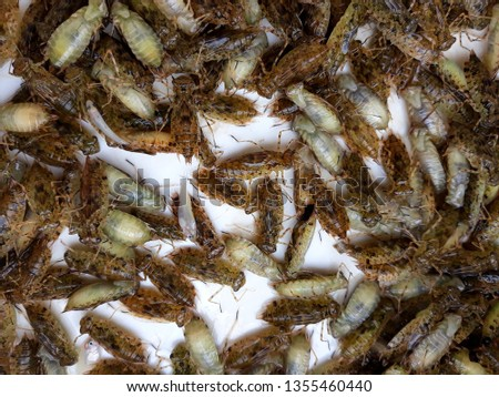 this pic show the Dragonfly larvae, it is a predators in nature for biological control