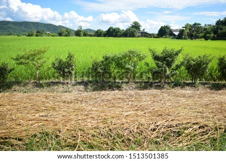 this pic show the garden and the green rice field with sky background take photo from rural village in Thailand
