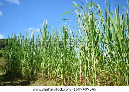 this pic show the napier grass with blue sky background