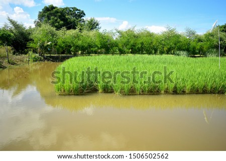 this pic show the rice field in aquaculture pond at farm outdoor, rice field aquaculture concept