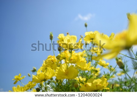this pic show the Sulfur Cosmos or Yellow Cosmos flowers it have yellow color with sun strong day at field outdoor, nature concept.