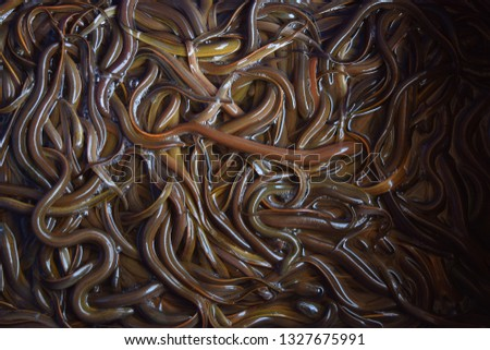 this pic show the Swamp eels or Paddy eels in the tank, it is has scientific name Monopterus albus, Aquaculture and aquatic animal background concept