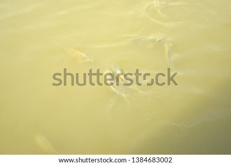this pic show the Tilapia fish swimming  and take food in the pond, aquaculture concept.