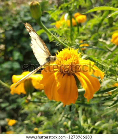 This pic shows the beautiful connection between flower and Butterflie