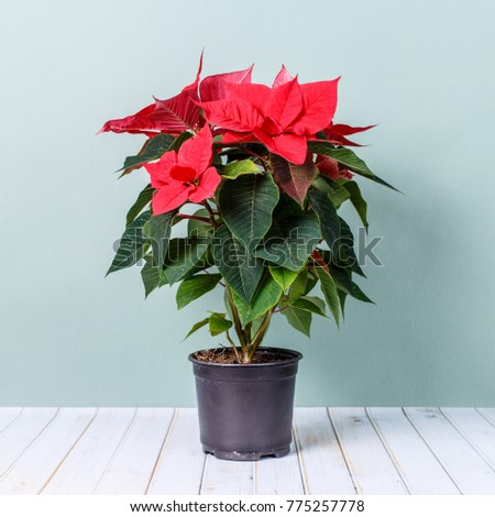 This picture can be used to illustrate the rules of how to grow home flowers Euphorbia subg, Poinsettia.