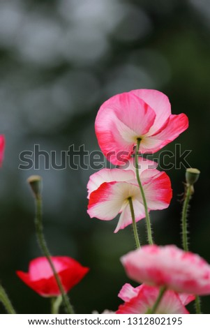 This picture is flower garden of poppy