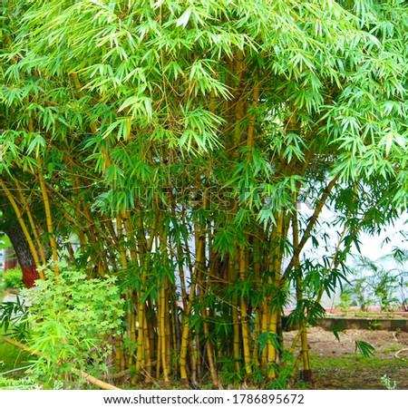 This picture is taken from the farm akola India   Genus Bambusa comman name Common bamboo Family Poaceae Zdjęcia stock ©